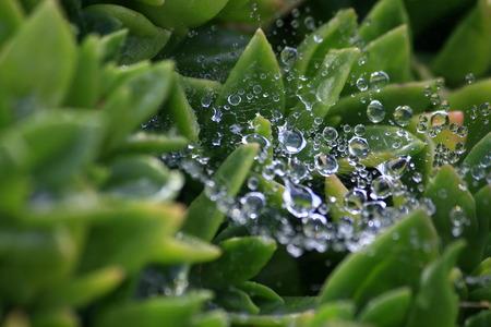 water dew drop caught on spider web oversucculent plant