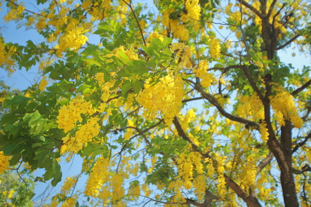 cassia fistula. golden rain tree a flowering plant in the family Fabaceae. The species is native to the Indian subcontinent. known in Thai as ratchaphruek. tree in full yellow bloom.