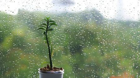 small decorative plant in a pot next to droplet sprayed glass window. blurred tree foliage leaves in the background. rain season concepts.