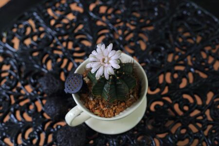 exotic Cactus in a cute white pot flower blooming. selective focus on the flower.  decoration plant in a garden. water moisture droplets on desert plant.