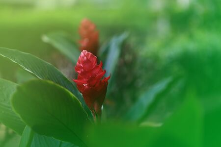 blooming red ginger, Alpinia purpurata. red flower head in a green garden. flower background for decoration. calm serenade relaxing scene of an ornamental flower bed. close up shot.