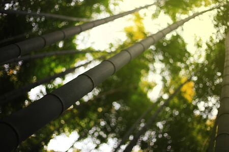 selective focus bamboo trunk shooting into the sky with bamboo forest background. eco friendly bamboo forest background for environmental awareness and protection concept