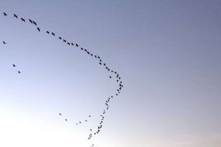 Flock of birds at twilight silhouetted against the sky photo