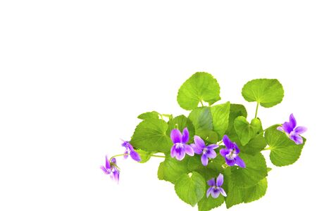 modesty: Bunch of wild violets isolated on white