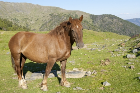 Pregnant wild chestnut mare posing in the high grasslands of Andorra  photo