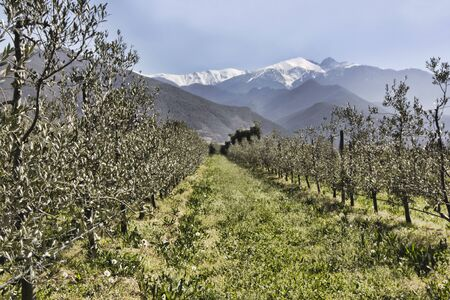 Catalan mountain Canigou towers above the olive trees photo