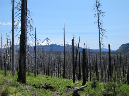 New green growth in a wildfire burned forest
