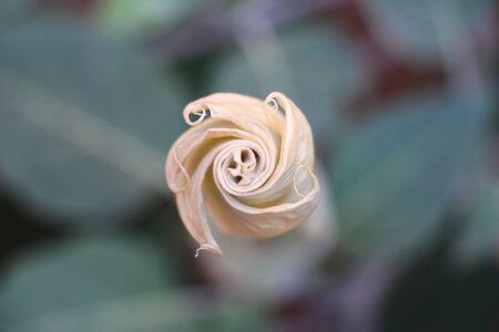 moonflower: Datura Flower Bud