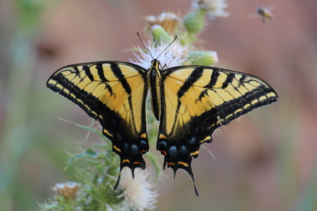 Two-tailed Swallowtail Butterfly
