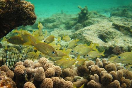grunt: School of yellow French Grunt fish swim in brilliant blue-green water Stock Photo