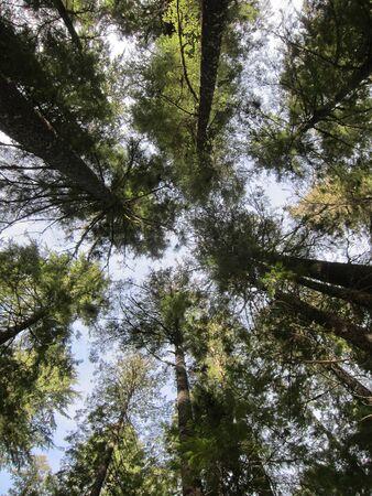 evergreen tree: Evergreen tree canopy