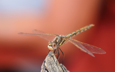 Variegated Meadowhawk Dragonfly on red background Stock Photo