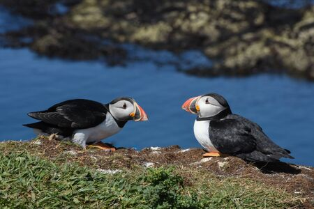 Two puffins resting on edge of cliff on island in Hebrides Scotland