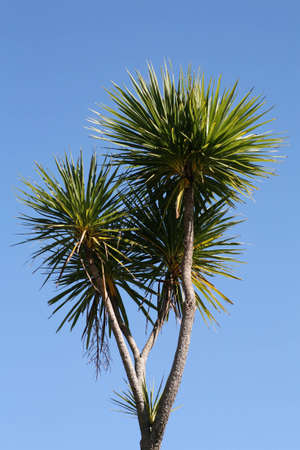 cordyline: Cabbage tree (Cordyline australis) against a blue sky. The cabbage tree is endemic to New Zealand Stock Photo