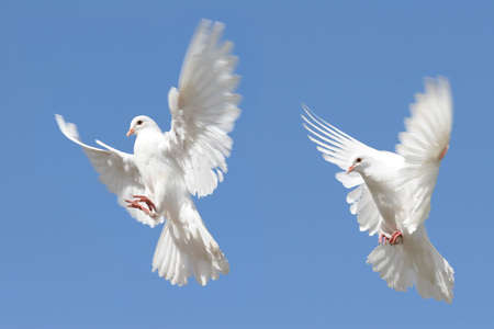 Composite image of a white dove in flight with her wings outstretched photo