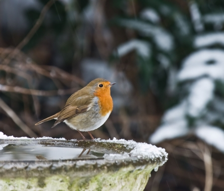 water birds: Robin in the snow