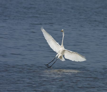 Great White Egret landing at Tendaba Camp, The Gambia, West Africa. photo