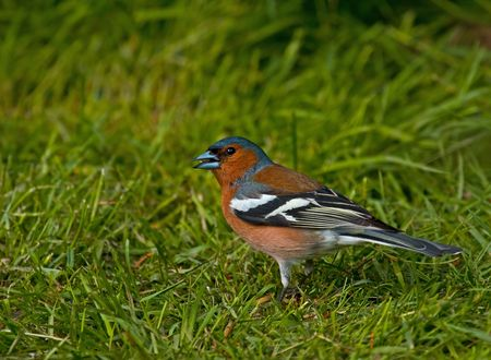 chaffinch: Common Chaffinch  Stock Photo