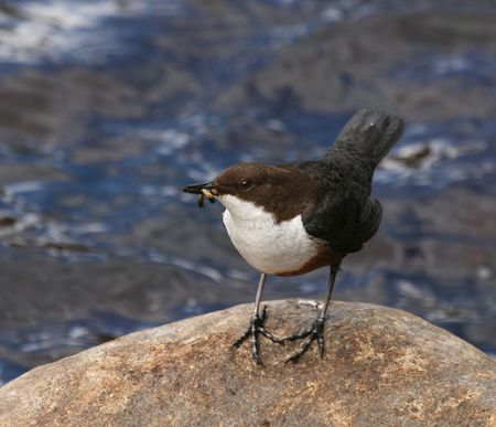 brown throated: Dipper on rock in Scottish river Stock Photo