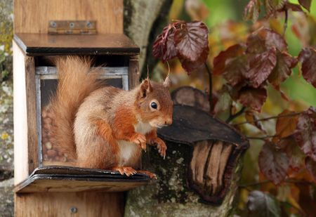 Red Squirrel on feeder Stock Photo - 4849138