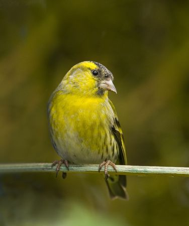feeder: Eurasian Siskin male perched near feeder, looking coyly at camera