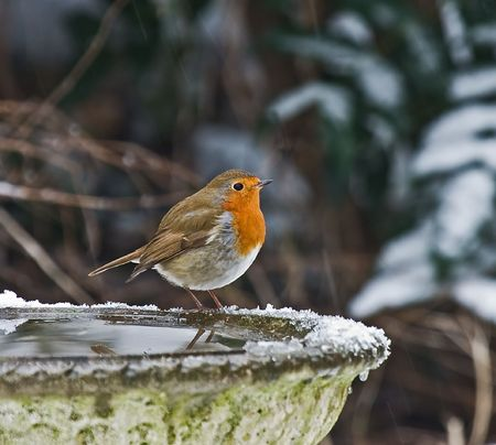 perky: Robin in the Snow
