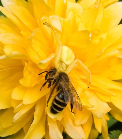Crab Spider with bee Stock Photo - 4875543
