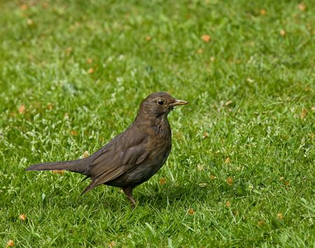 Female Common (European) Blackbird finding food for young photo