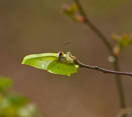 Brimstone Butterfly laying Stock Photo - 4875517