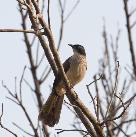 birdwatching: Black-cap Babbler in The Gambia Stock Photo