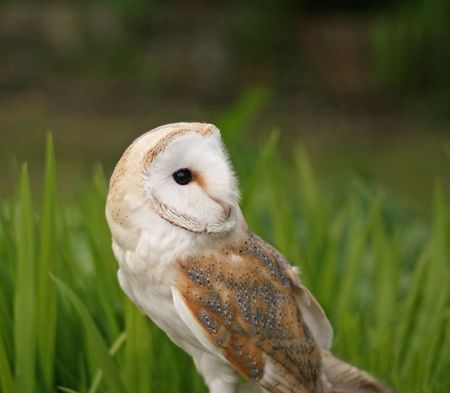 speckle: Barn Owl close-up