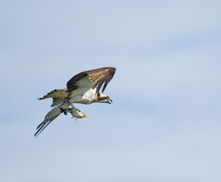 Osprey with fish Stock Photo - 4910955