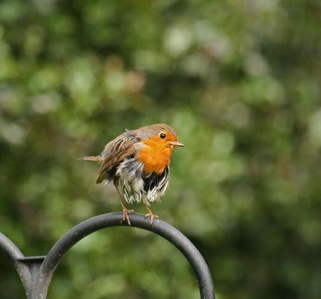 ragged robin: Ragged Robin Stock Photo