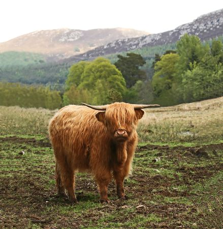 Highland Cow in Scotland Stock Photo - 5023532