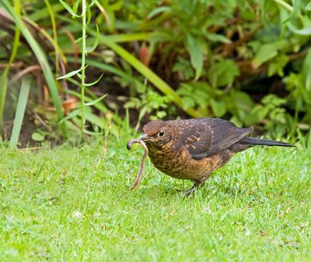 Blackbird with Worm photo