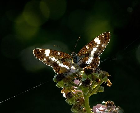 admiral: White Admiral backlit by sun Stock Photo