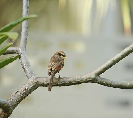 coy: Yellow-billed Shrike coy  Stock Photo
