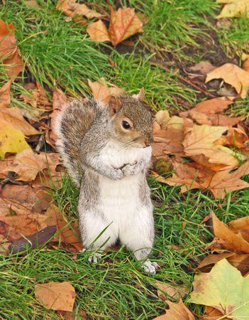 London Squirrel photo