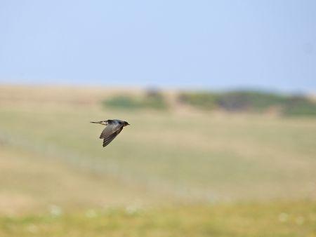 duration: Barn Swallow