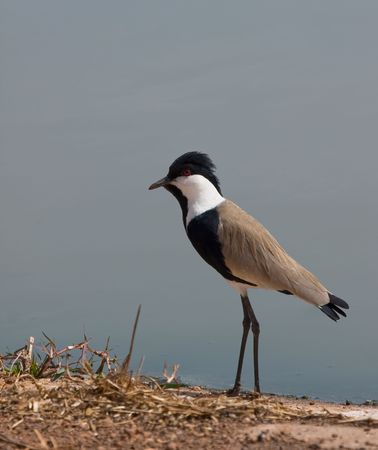 vanellus spinosus: Spur-winged Plover Stock Photo