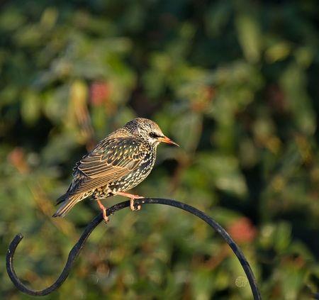 piume: Starling comune nel piumaggio invernale