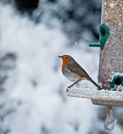 Robin and Snow photo