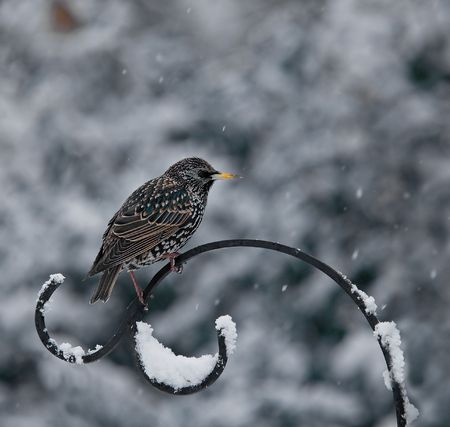 Starling in Snow photo