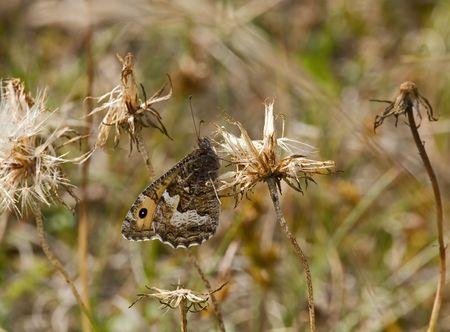 Grayling butterfly Stock Photo - 6740389