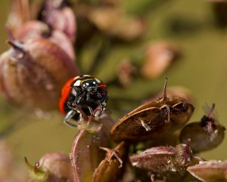 coccinella: Ladybird hunting