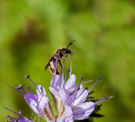 apocrita: Solitary Bee on Phacelia flower