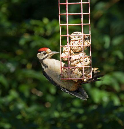 Great Spotted Woodpecker in sunlight photo
