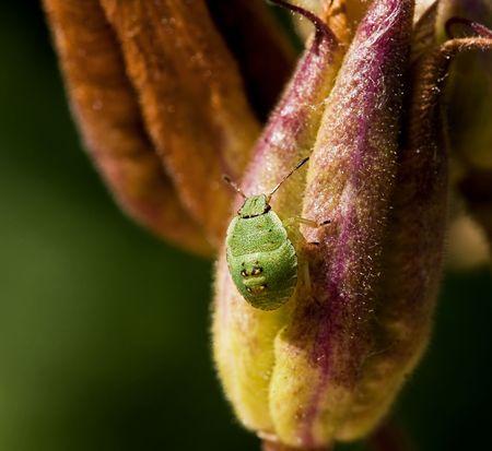 Green Shield Bug Nymph Stock Photo - 7494262
