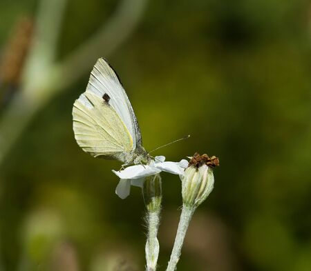 hindwing: Large White Butterfly