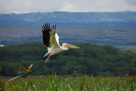 naivasha: Great White Pelican